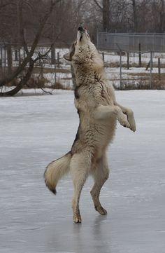 Dancing Wolf  IMG_8342 by w0lfm@n on Flickr.