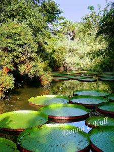 Victoria-water-lilies-Kanapaha-Botanical-Gardens-Florida
