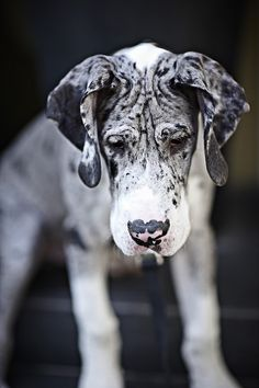 #Great #Dane #puppy....What unusual marking for a Dane, but he'll definitely be a standout