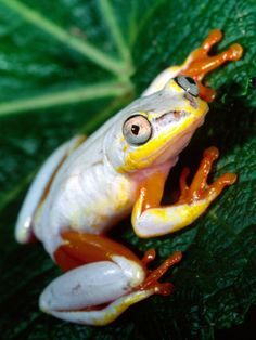 Metallic Reed Frog