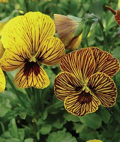 """Eye of the Tiger"""" grows very quickly to across and tall, with mounds smothered in blooms. lifecycle: Annual Uses: Beds, Container Sun: Full Sun, Part Sun Height: 8 inches Spread: inches Sowing Method: Indoor Sow Bloom Duration: 8 weeks) Yellow Flowers, Beautiful Flowers, Annual Flowers, Autumn Garden, Flower Beds, Pansies, Trees To Plant, Garden Inspiration, Beautiful Gardens"""