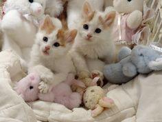 turkish-angora-cats-playing-baby-doll.jpg (400×300)