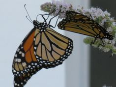 Monarch Butterflies on the Spearmint Blossoms, The Londonderry Inn  South Londonderry, Vermont