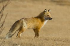 Red Fox by Dexter Bressers - Foto Foosa Animals Of The World, Animals And Pets, Cute Animals, Coyotes, Beautiful Creatures, Animals Beautiful, Fox Collection, Fabulous Fox, Fennec Fox