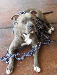 Tangled Up in Blue #sabrehasbro #pitbull #apbt #amstaff