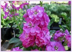 Şebboy Çiçeğinin Bakımı ve Yetiştirilmesi - Forum Gerçek