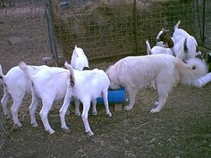 We sell fullblood Boer Goats and AKC Great Pyrenees Livestock Guardian Dogs. Boer Goats, Great Pyrenees, Dog Photos, Livestock, Pictures, Dogs, Animals, Photos, Animales