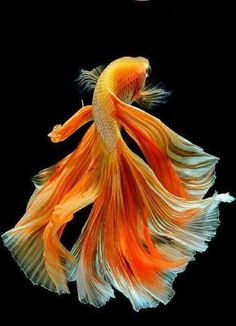 Betta fist are a fun beautiful fish that many people can have in their home with minimal effort. Beautiful Tropical Fish, Beautiful Fish, Beautiful Sea Creatures, Animals Beautiful, Betta Fish Types, Pretty Fish, Fish Wallpaper, Beta Fish, Siamese Fighting Fish