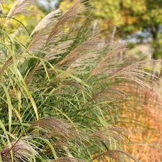 Du sökte efter glansmiskantus - perenner.se Miscanthus Sinensis Silberfeder, Garden, Sun, Garten, Lawn And Garden, Gardens, Gardening, Outdoor, Yard