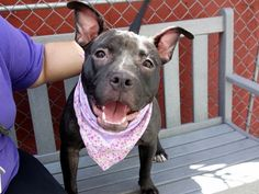 SAFE!!!!!!!! JAZZY - A1077262 - - Manhattan  TO BE DESTROYED 06/23/16**DON'T KEEP JAZZY WAITING! SHE NEEDS A HOME BY NOON!**A volunteer writes: Miss Jazzy had just joined us when I met her, but she already has staff doing dances around her. Talk about love at first sight!! She seems to be housetrained, is good on the leash, didn't mind the craziness at the park, gives kisses, climbed on the bench to snuggle with her favorite staff person, takes treats gently, greeted a &#821