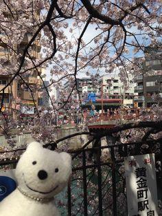 クマ散歩:大岡川を品行方正なクマが上る5 (太田橋-山王橋) The Bear took a walk up the Ooka River!♪☆(^O^)/