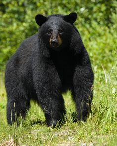 Black Bear, Black Bear. Black Bear~~