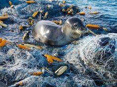 Picture of a seal on top of a net removed from the ocean - National Geographic News