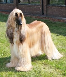 Afghan Hound : Appearance, Temperament, Behavior, Qualities, Training, Exercise, Health Issues, Picture, Height and Weight : nextdogbreed.com