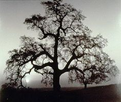 View Oak Tree, Sunset City, Sierra Foothills, California by Ansel Adams on artnet. Browse more artworks Ansel Adams from Ansel Adams Gallery. Ansel Adams Photography, Nature Photography, Creative Photography, Artistic Photography, Amazing Photography, Best Photographers, Landscape Photographers, Ansel Adams Photos, Foto Nature