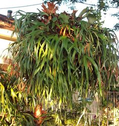 Staghorn Fern For Sale In Lousiana