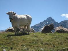 Meeting cows on a hike up a Swiss mountain