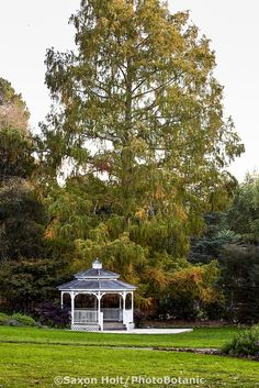 Image result for dawn redwood  marin art and garden