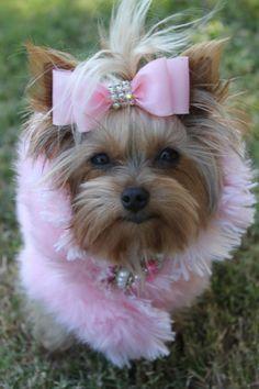 Yorkie, pink fur coat