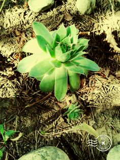 My Photos, Succulents, Plants, Succulent Plants, Plant, Planets