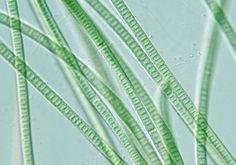 oscillatoria   Oscillatoria Cell