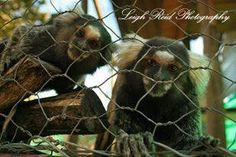 Primates: The Fearless Science of Jane Goodall, Dian Fossey, and Biruté Galdikas Marmoset Monkey, Dian Fossey, Jane Goodall, Orangutan, Primates, Brown Bear, A Funny, South Africa, Wildlife