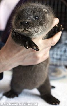 precious otter Nothing should be this cute!