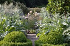 Wonderful combinations of topiary & ornamental cardoons | Veddw, the garden of Anne Wareham and Charles Hawes, Wales