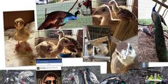 PETITION PLEASE SIGN & SHARE-Justice for the Brutal Torture, Mutilation & Murder of My Peacocks