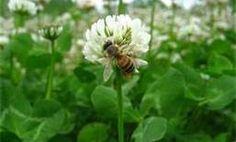 Clover Honey Bee