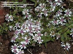 Calico Aster, Goblet Aster, Side-Flowering Aster 'Lady in Black'  Symphyotrichum lateriflorum
