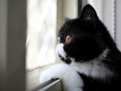 These Cats Waiting For Their Owners To Return Prove Their True Love - World's largest collection of cat memes and other animals Neko, Cat Download, Sad Cat, Exotic Shorthair, British Shorthair, Black Tigers, Fluffy Cat, Cat Memes, Cats And Kittens