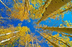 The amazing part about an Aspen grove is that it's really only one tree.