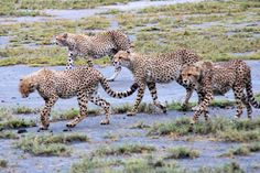 A Coalition of Cheetahs by J. Walz: On the prowl in Tanzania. #Cheetahs #Tanzania #J_Walz