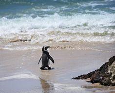 Say hello to this #cute penguin at Kangaroo #Island Penguin Centre in #Australia