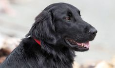 The cheerful Flat-Coat is often called the Peter Pan of dogs. He's easy to train, eager to please, and loves to retrieve, especially from water. He's also incredibly energetic and rambunctious.
