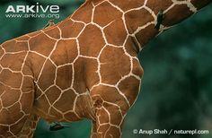 Juvenile giraffe - View amazing Giraffe photos - Giraffa camelopardalis - on Arkive Giraffe Photos, Okapi, Stuffed Animal Patterns, Endangered Species, Giraffes, Painting, Geometry, Google Search, Patterns