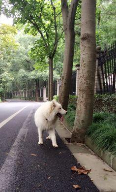 布丁越来越乖了,调皮的他散步时会放慢脚步,不时停下来等我