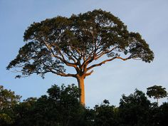 Kapok Tree (Ceiba pentandra): Tallest in the rainforest One Tree, Tree Of Life, Living In Peru, Rainforest Trees, Giant Tree, Mean Green, Tree Forest, Forest Art, Growing Tree