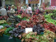 autumn coleus | Colourful Heucheras and Heucherellas! Evergreen and hardy, they are ...