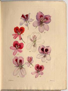 236725 Pelargonium ampliatum Tratt. / Trattinnick, L., Neue Arten von Pelargonien, vol. 4: t. 167 (1829)