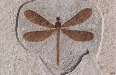 Fossil dragonfly from the Green River Formation in the North American Midwest