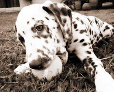 Le Dalmatien : plein de qualités http://www.animalcompagnie.com/le-dalmatien-chien.html