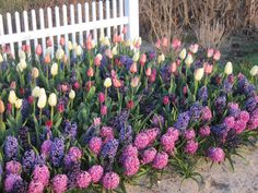 Tulips and Hyacinths - - Tulips Garden, Garden Bulbs, Planting Bulbs, Planting Flowers, Outdoor Plants, Outdoor Gardens, Beautiful Gardens, Beautiful Flowers, Front Yard Landscaping