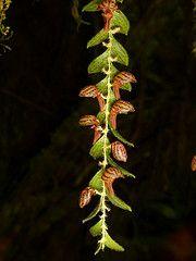 Lepanthes pilosella = Neooreophilus pilosellus