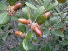 Golden Acorns And Oak Leaves - In The White Oak Family, The Live Oak's Acorns Are Among The Mildest One Can Collect
