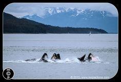 whales in juneau, alaska bubble-net feeding