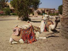 Cammelli, sole mare Tramonto Egitto