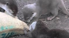Otterly Cute Baby Otters