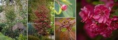 Plants Management Australia Pty Ltd malus wychwood ruby